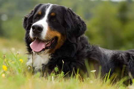 Dog - Bernese Mountain Dog is on the gras photo
