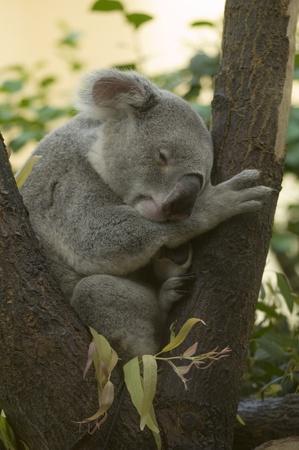 Sleeping dreaming Koala in an european zoo photo