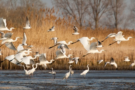 Great Egrets and gulls are starting over the water photo