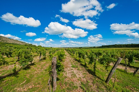 View of a wineyard in spring with clouds photo