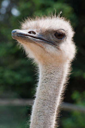 Close Up Of Ostrich Head Looking At Viewer