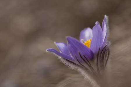 Pasque Flower (Pulsatilla Rubra), also called Prairie crocus, Wind flower, Easter Flower and Meadow anemone. Toxic, the flower has a long history of medicinal use. photo