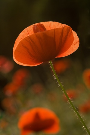 Common names: red weed, corn poppy, corn rose, field poppy, red poppy
