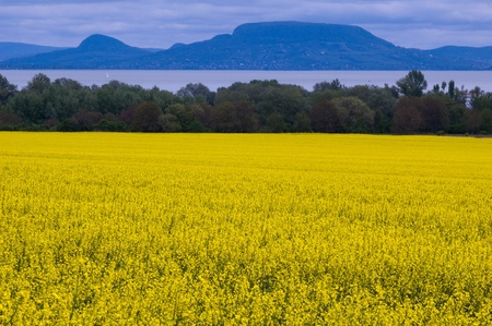 Great yellow colza field and Balaton, mountains in the background photo