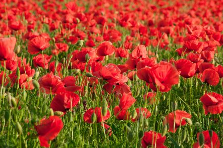 Field of red poppy flowers. Lots of Papaver