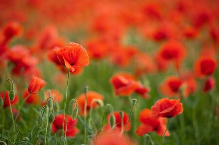 Field of red poppy flowers. Lots of Papaver Stock Photo - 13870833