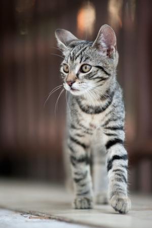 felis silvestris catus: Felis silvestris catus - housecat