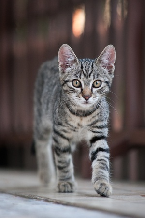 Felis silvestris catus - housecat Stock Photo - 14417720