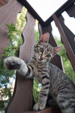 housecat: Felis silvestris catus - housecat
