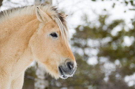 A Norwegian horse portrait in winter photo