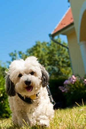 havanais: Havanais dog is walking in the garden