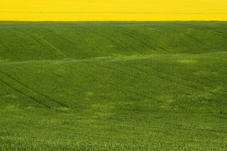Landscape with blossoming colza and green wheat Stock Photo - 16529457