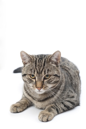 Isolated grey cat lies in white background photo