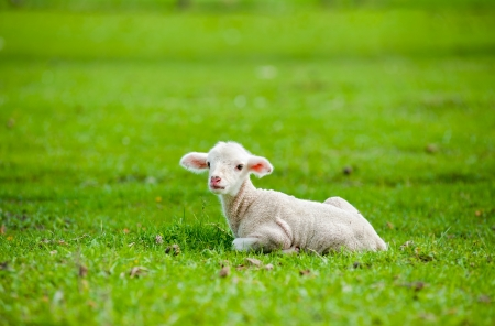 Cute sheep or lamb in green meadow Stock Photo