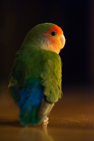lovebird is standing on the floor photo