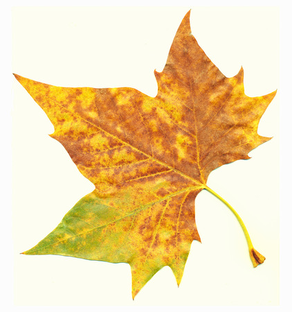acer platanoides: Maple leaf in autumn, Acer platanoides Stock Photo