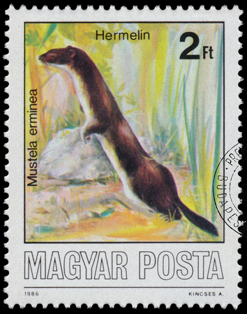 stoat: HUNGARY - CIRCA 1986: A stamp printed by Hungary shows Protected Animals, Stoat - Mustela erminea, circa 1986 Editorial