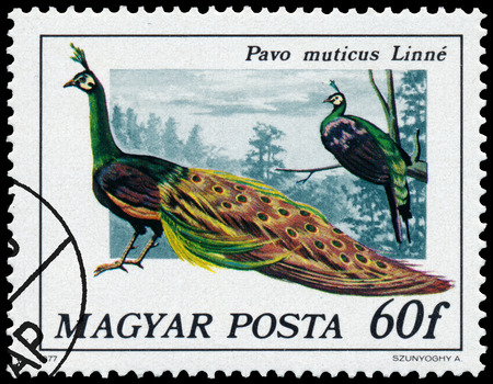 pavo: HUNGARY - CIRCA 1977: Stamp printed in Hungary shows Green peafowl - Pavo muticus Linne, series Peacock birds, circa 1977