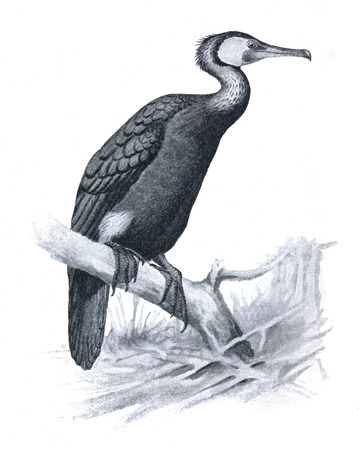 carbo: Great cormorant - Phalacrocorax carbo - an illustration of The Book about the Birds, Budapest, Hungary, 1908