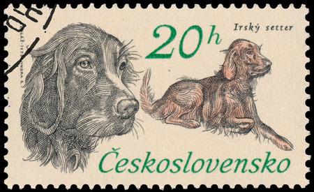 czechoslovakia: BUDAPEST, HUNGARY - 12 march 2016:  a stamp printed in Czechoslovakia shows Irish Setter, circa 1973