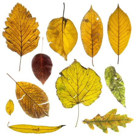 Collection of autumn leaves on white background Stock Photo