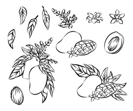 Mango fruits vector set. Hand drawn organic food hand drawn sketch engraving illustration.
