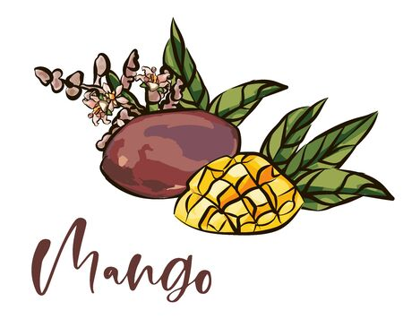 Mango fruits vector set. hand drawn organic food hand drawn sketch engraving illustration.  イラスト・ベクター素材