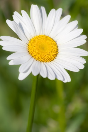 Beautiful white Сamomile in the summer garden Stock Photo