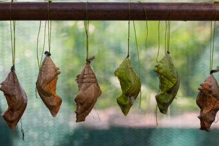 Chrysalis butterfly, butterfly is a symbol of love, happiness and well-being photo