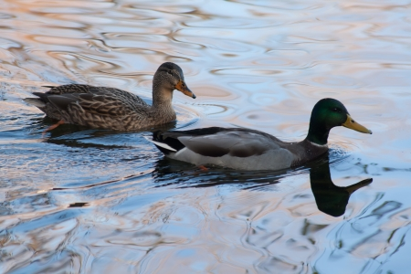 Two ducks swimming on a pond photo