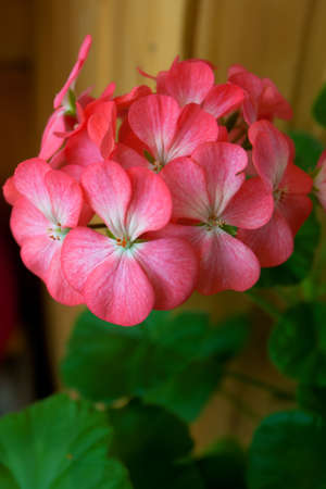 The flowers of the geranium correct, large and beautiful, from 5-sheet paper cups Stock Photo