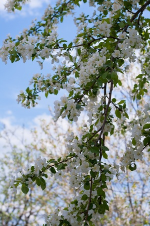 Blooming apple trees Stock Photo - 18438033
