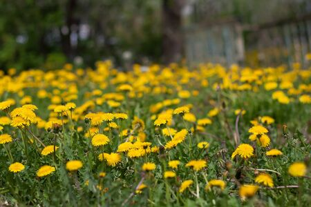 A field of yellow daisies Stock Photo - 18437869