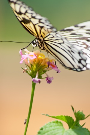 Tropical butterfly on a flower close-up Stock Photo - 18437961