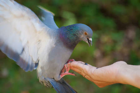 The pigeon eats with hands Stock Photo - 18437977