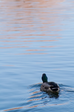 Duck floating away into the distance, autumn photo