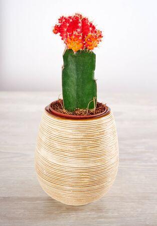 Cactus on a white background, gymnocalycium mihanovichii variegata photo