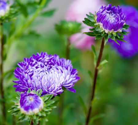 monch: Blue asters in nature, close-up