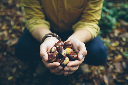 earth nut: Man wearing yellow shirt holding handful of fresh chestnuts picked fresh from the forest floor in the Kent countryside, England, UK