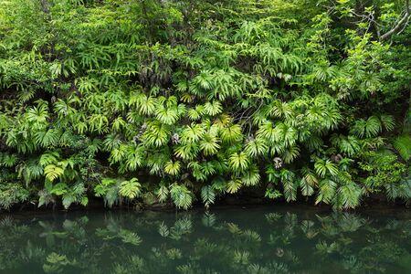 Tranquility of lush green Jungle vegetation 写真素材