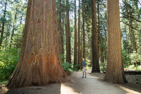 national scenic trail: Man standing looking at huge ancient Redwood Tree, Calaveras Big Tree State Park, California, United States