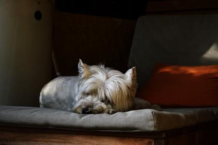 westie: Westie dog resting in backyard