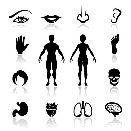 partes del cuerpo humano: Iconos establecer órganos humanos