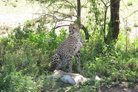 kill: Cheetah resting after a successful kill