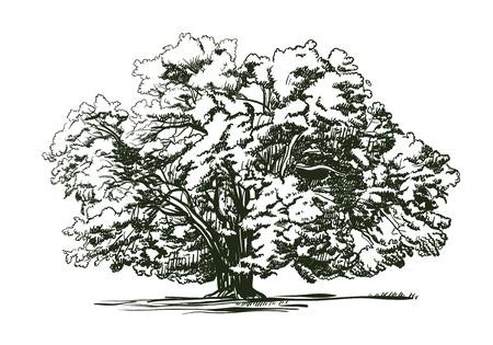Olive tree old engraving. Ecology, environment, nature sketch. Vintage vector illustration
