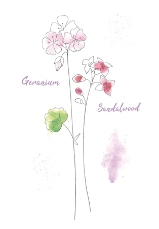 Wildflowers sandal hand drawn watercolor illustration. Sandalwood aquarelle paint drawing. Geranium branches ink pen isolated clipart. Sandal twigs sketch. Greeting card, poster floral design element Иллюстрация