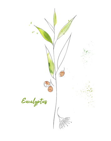Green eucalyptus hand drawn watercolor illustration. Ink pen branch isolated clipart. Tree twig with leaves and berries color drawing. Herbal aquarelle sketch. Greeting card botanical design element