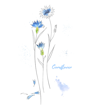 Blue cornflower hand drawn watercolor illustration. Knapweed branches ink pen isolated clipart. Wildflower aquarelle paint drawing. Bluet twigs sketch. Greeting card, poster floral design element