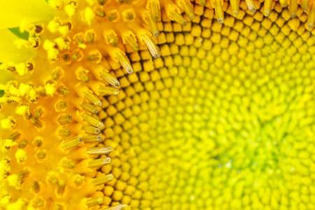 macro center of sunflower photo