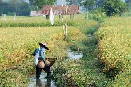 beautiful rice field real life of thai farmer style photo